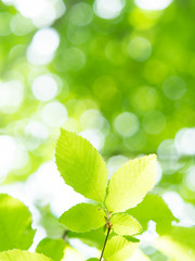 Fototapete - 新緑の葉