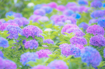 Foto auf Leinwand Hortensie 紫陽花