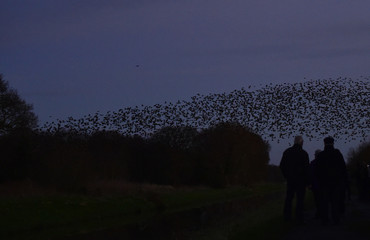 Bird watchers view large flocks of starlings flying at dusk over the Somerset Levels near Glastonbury