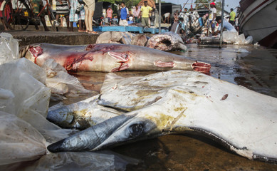 A manta ray and a hammerhead shark lie dead at the dock of the Mirissa Fisheries Harbour in south Sri Lanka