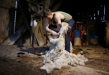 Scott of Ireland shears a sheep on a farm on the Dentenberg near Bern