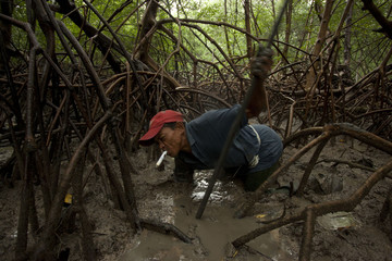 Brazilian fisherman Jose Benedito searches for crabs in the mud surrounding mangrove roots on the coast of Para State