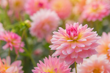 Papiers peints Dahlia colorful of dahlia pink flower in Beautiful garden