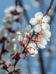 Apricot tree in blossom. Bright spring sky on the background.