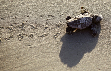 A Loggerhead turtle hatchling makes its way to the surf at Myrtle Beach State Park in Myrtle Beach