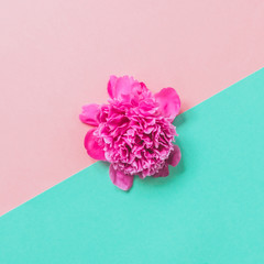 single peony in a bright pink on double background. fashionable minimal concept of spring flowers