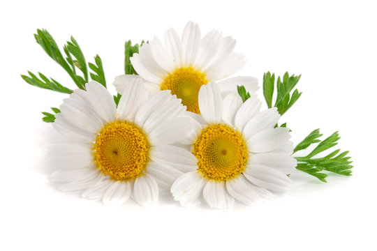 Three chamomile or daisies with leaves isolated on white background