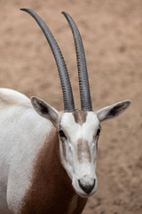 Wall Mural - Scimitar oryx (Oryx dammah)