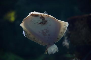 Turbot (Scophthalmus maximus).