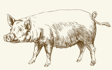 Pig. Hand drawn illustration.