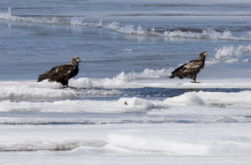 Two American Bald Eagles perch near an open water break in the ice in the Hudson river as they hunt for fish near Barrytown