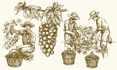 Worker cutting grapes from vines. Hand drawn illustration.