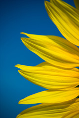 Close up of sunflower petals