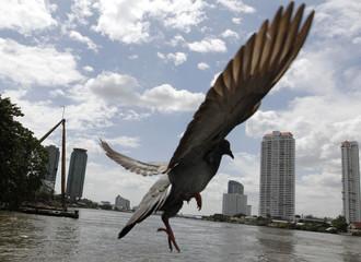 A pigeon flies over the Chao Praya river in Bangkok