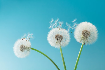 Beautiful dandelion flowers with flying feathers on turquoise background.