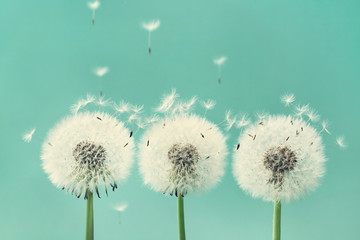 Foto op Canvas Paardenbloem Three beautiful dandelion flowers with flying feathers on turquoise background.