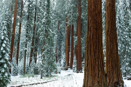 Redwood forest in winter