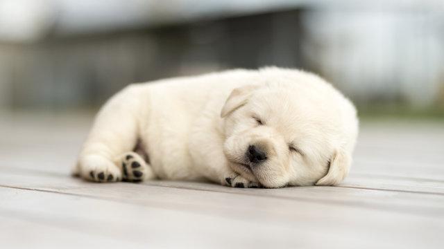 Little yellow puppy