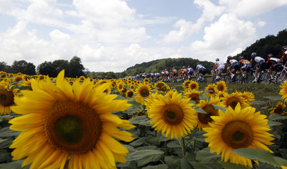 The pack rides past a field of sunflowers during the 12th stage of the Tour de France 2011 cycling race from Cugnaux to Luz-Ardiden