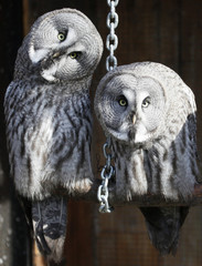 Great Grey Owls or Lapland Owls sit inside an open air cage at the Royev Ruchey zoo in Russia's Siberian city of Krasnoyarsk