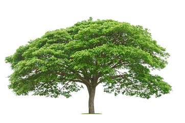 big tree and green leaf isolate on white background