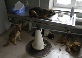 Dogs rest in a veterinary room at a private animal shelter in Pirogovo village outside the capital Kiev