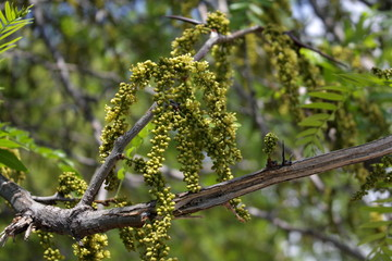 Branch with green buds