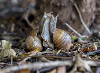 Vineyard snails (Helix pomatia) during mating