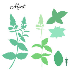 Mint leaves, peppermint buds isolated on white background, Hand drawn vector floral silhouette, spicy kitchen green herb, Doodle cooking ingredient for design package herbal tea, cosmetics, medicine