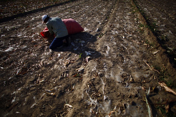 A man works in a field near the dried up Shiyang river on the outskirts of Minqin town, Gansu province
