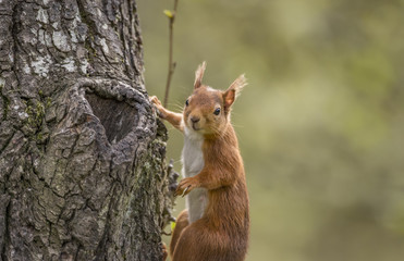 Red squirrel, Sciurus vulgaris, on the side of a tree trunk