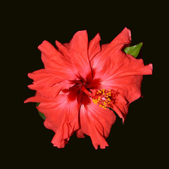 Beautiful flower: Red Hibiscus