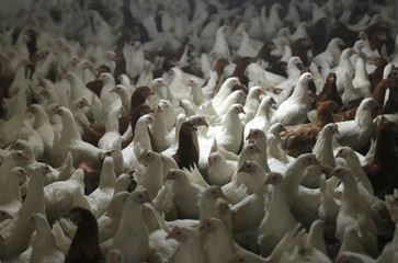 Hen's are pictured at a chicken farm in the western town of Wuppertal