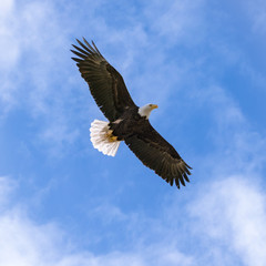 United States National Bird Bald Eagle with Wings Spread Wide and Blue Sky Background