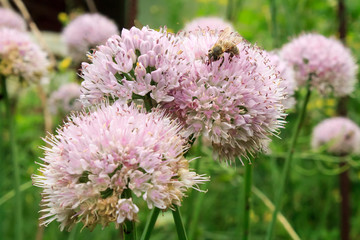 Flowers of wild garlic and a bee on a flower on the lawn