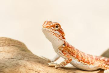 Fototapeta premium Bearded Dragon (Pogona vitticeps)