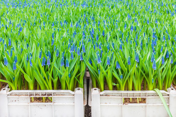Blue blooming muscari plants in crates