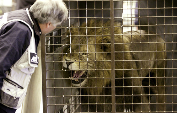 A lion, one of 25 rescued from Bolivian circuses, roars at Animal Defenders International vice president Tim Phillips after being unloaded from a jet in Denver