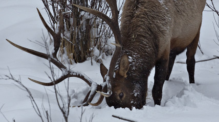An elk searches in deep snow for food on the wooded edge of a meadow in Banff National Park near Lake Louise