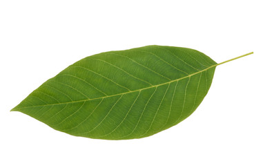 Green Walnut leaf