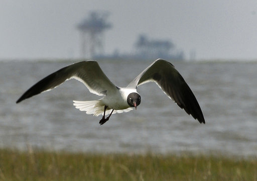 A laughing gull flies in the breeze on Raccoon Island
