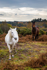 Curios New Forest ponies in their natural habitat, New Forest, UK