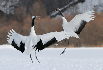 Cranes fighting in the snow.