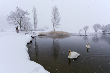 Swans on a lake in Brunico, Italy.