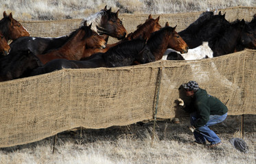 Wild horses run next to a worker as they are gathered in the West Desert of Utah, outside Tooele