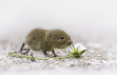 A vole by a flower.