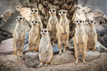 Meerkats standing.