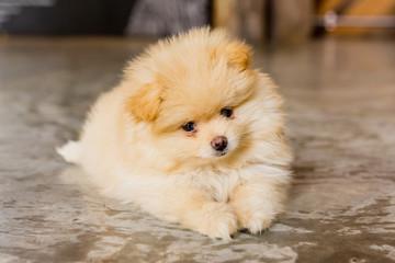 dog / Pomeranian puppy looking the camera