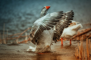A goose lifting out of the water.