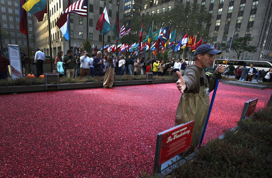 An employee of the Ocean Spray company stands in a pool of some 2000 pounds of floating cranberries while wearing waders at a promotional cranberry bog display set up at New York's Rockefeller Center